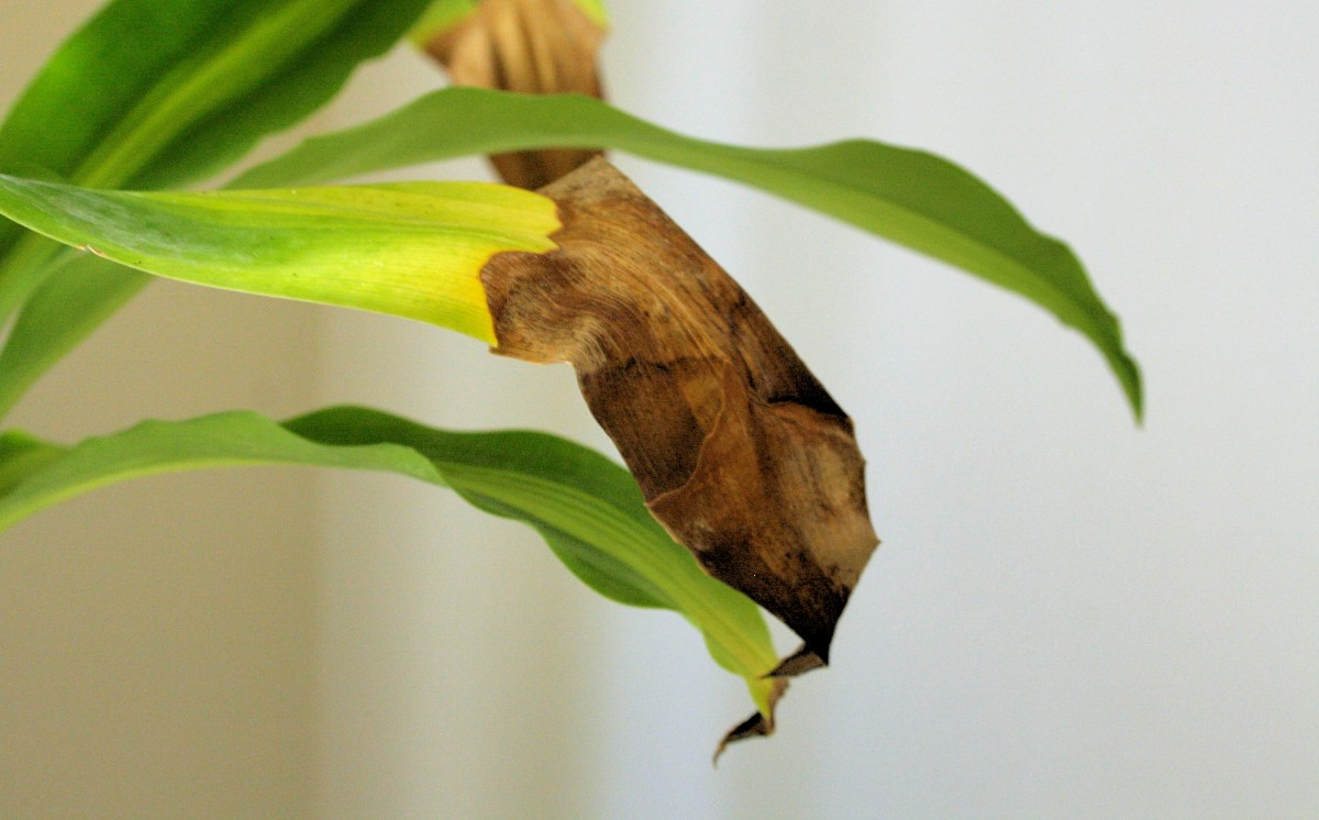 Brown or yellowing leaves are usually a sign of overwatering.