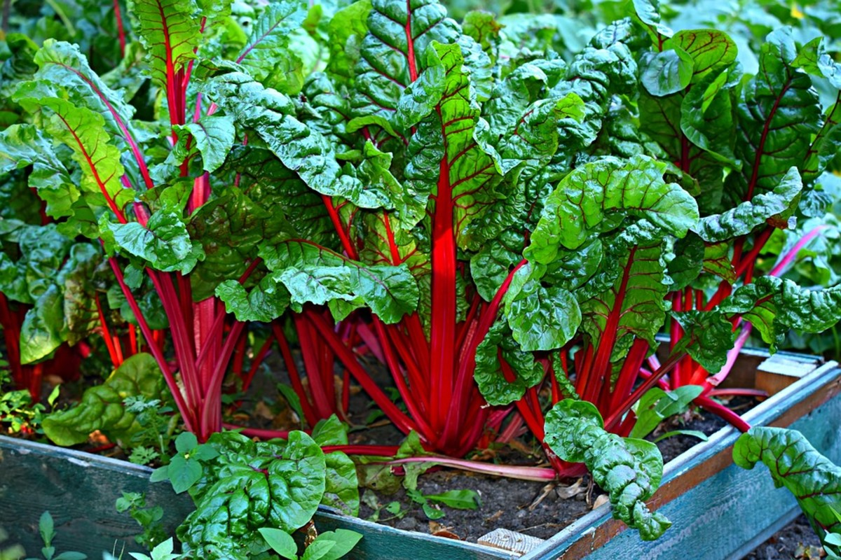 Swiss chard growing in a raised bed
