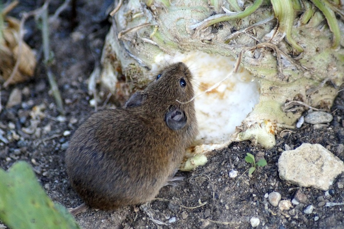Use hot pepper spray to keep small rodents away from your crops
