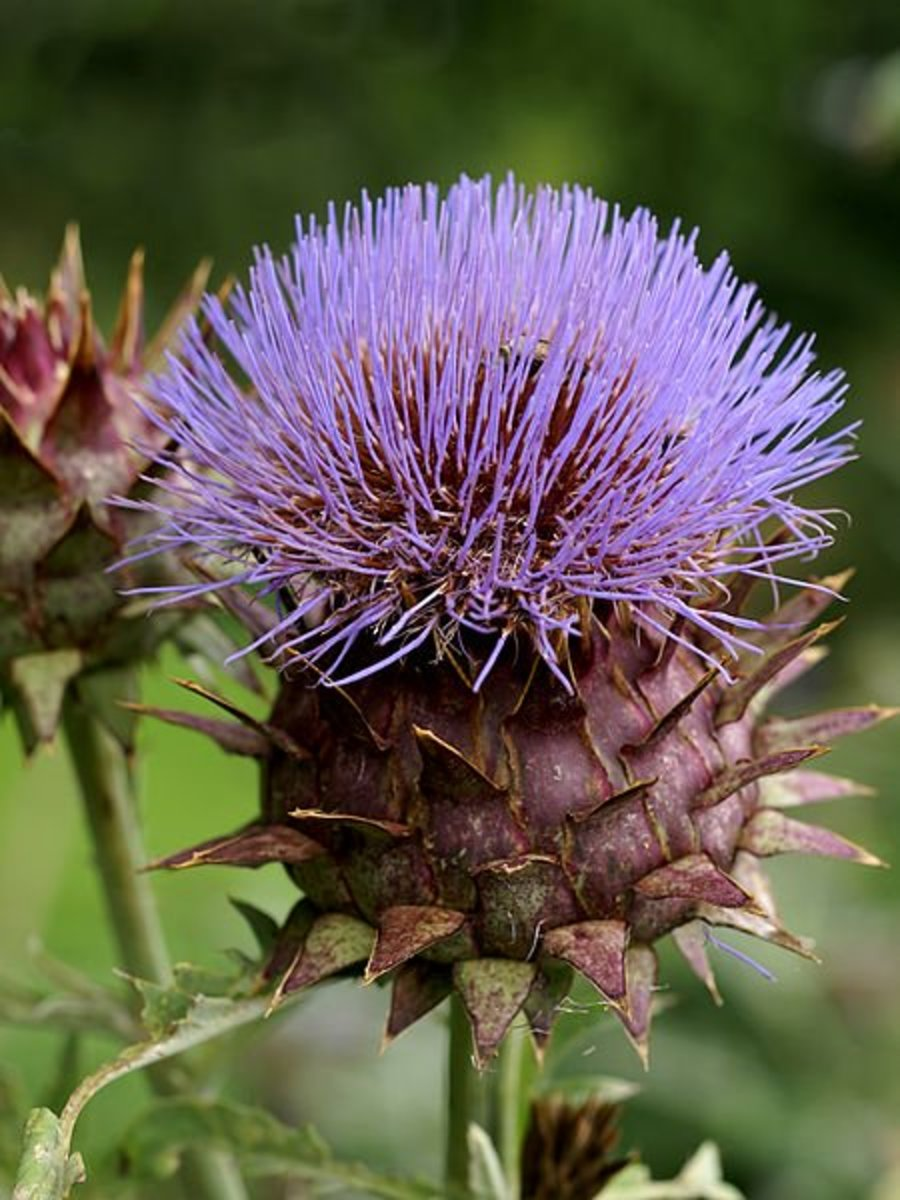 Artichoke Health Benefits, Supplements, and Nutrition Facts