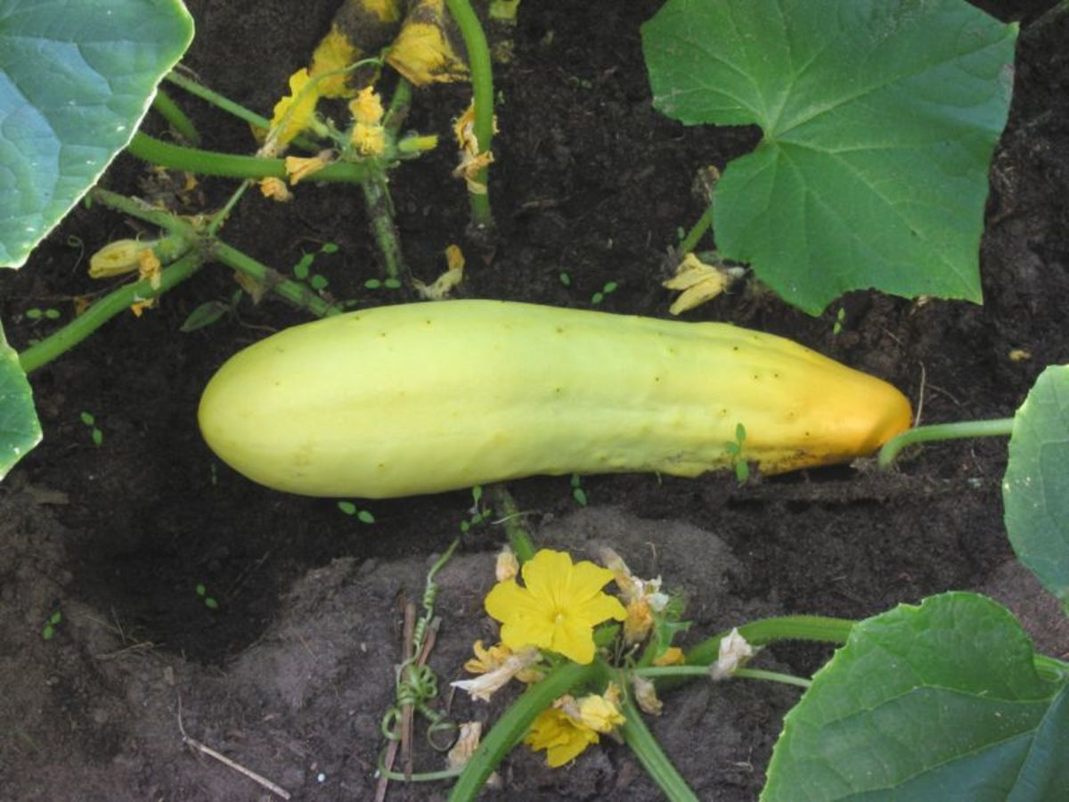Cucumbers that are yellow are no longer edible.