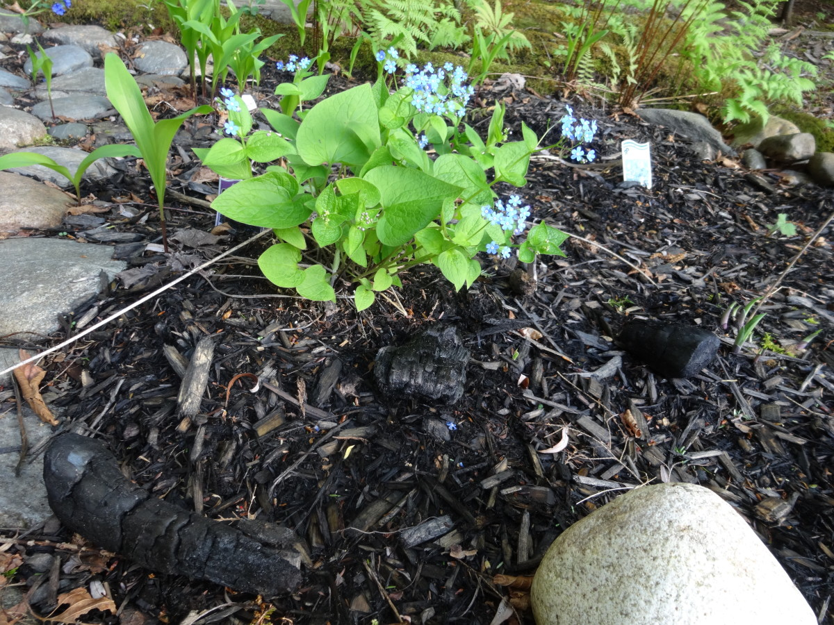 For a mild pH balance, just scatter chunks of charcoal around the garden, allowing it to soak into the garden slowly.