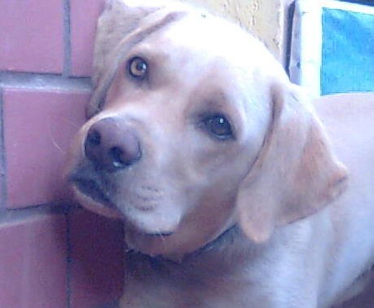 This Labrador retriever has developed a cataract on the right eye