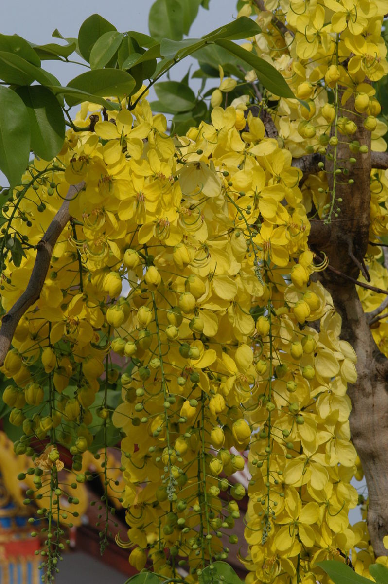 Cassia Fistula or the Golden Shower Tree Flowers