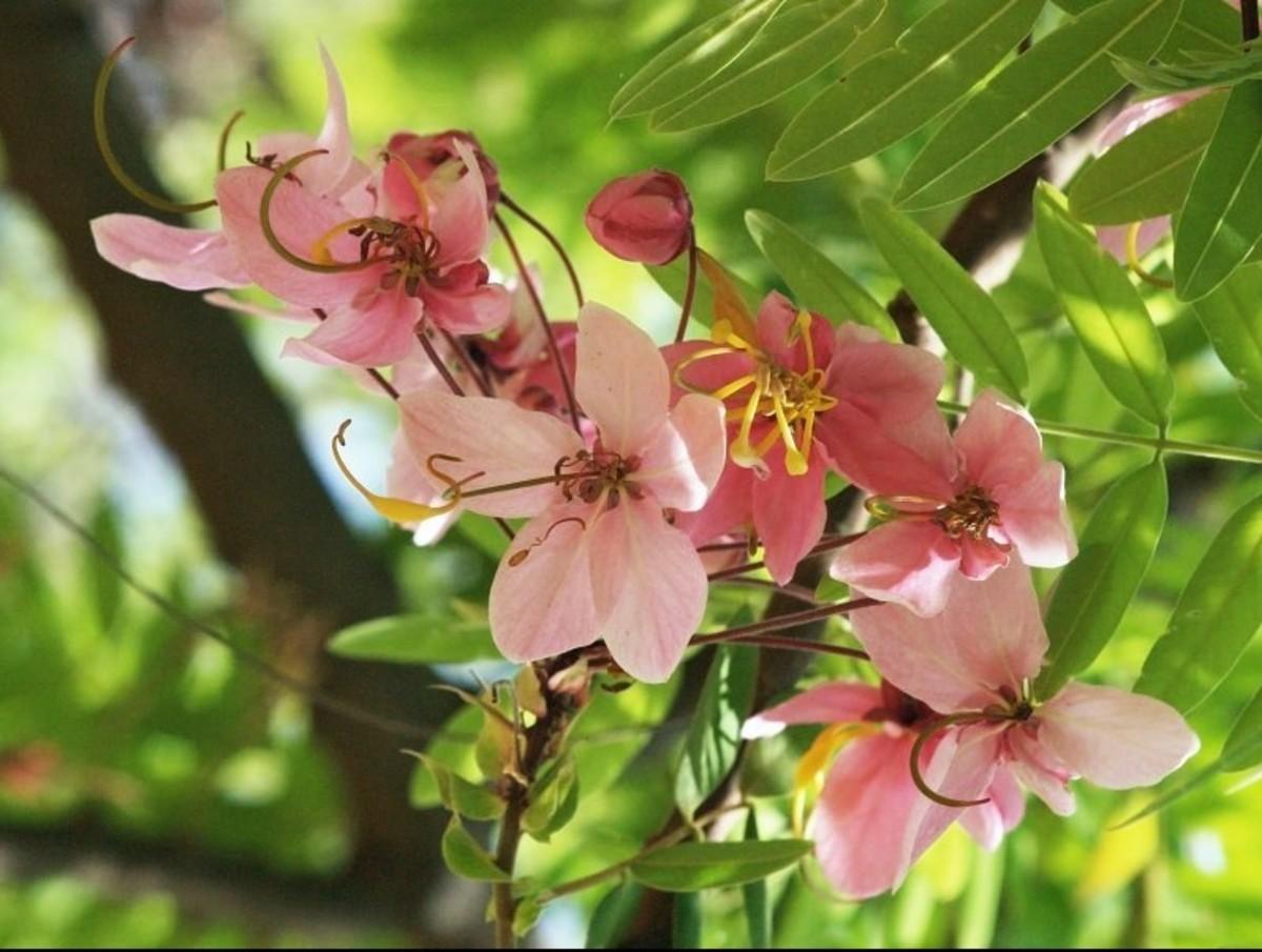 Cassia Javanica Flowers