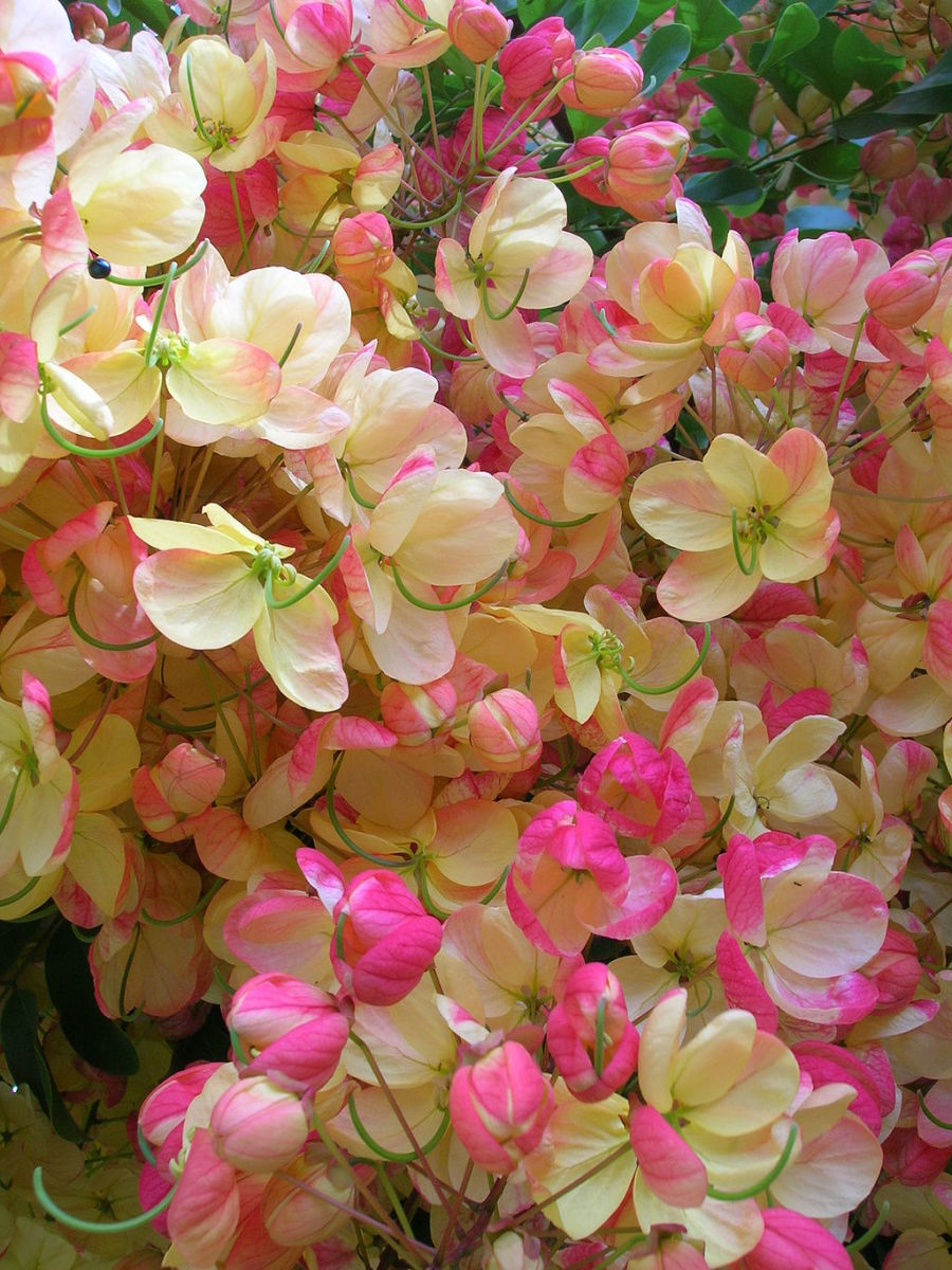 Rainbow Shower Tree Flowers