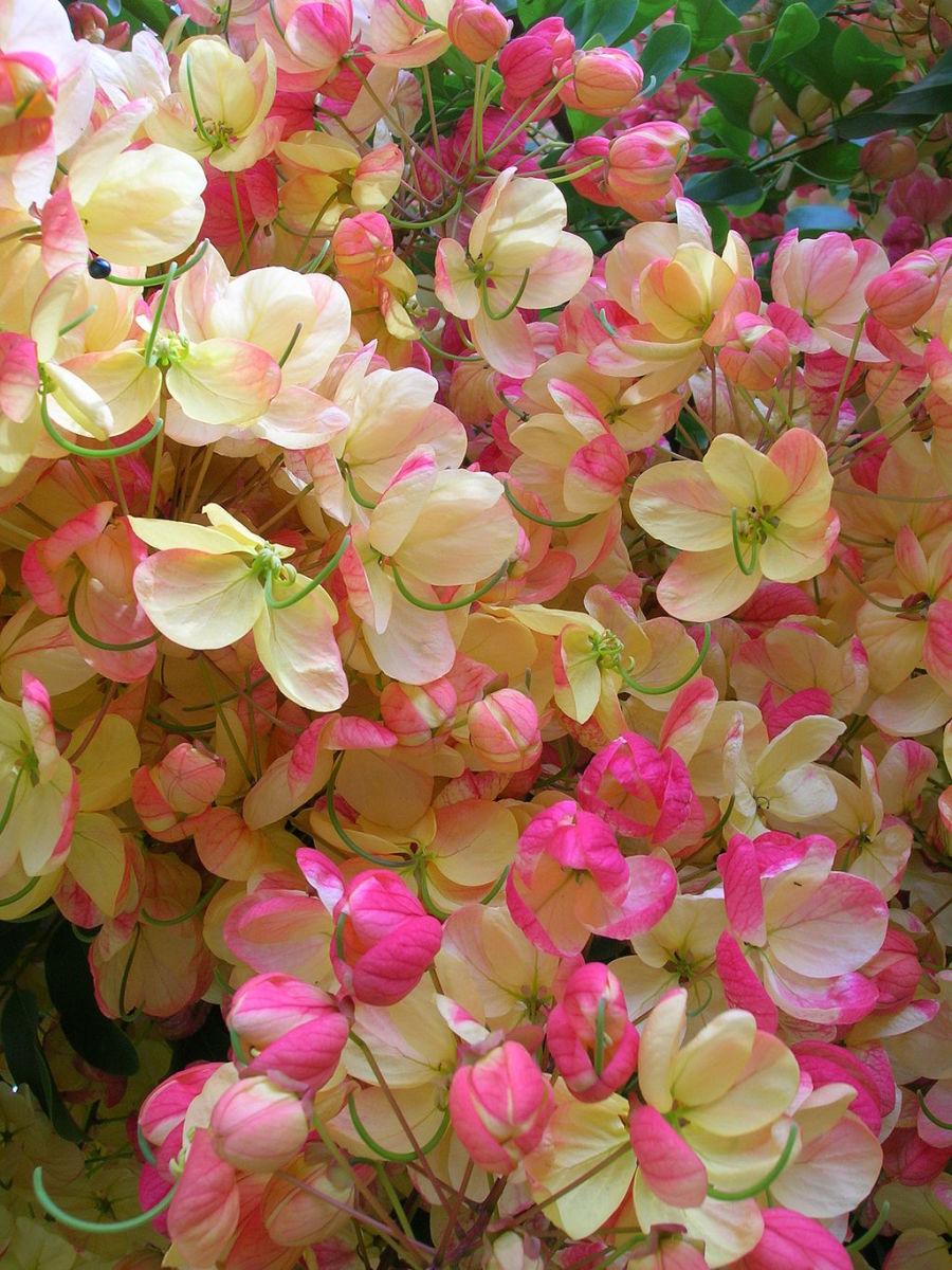 Rainbow Shower Tree Flowers