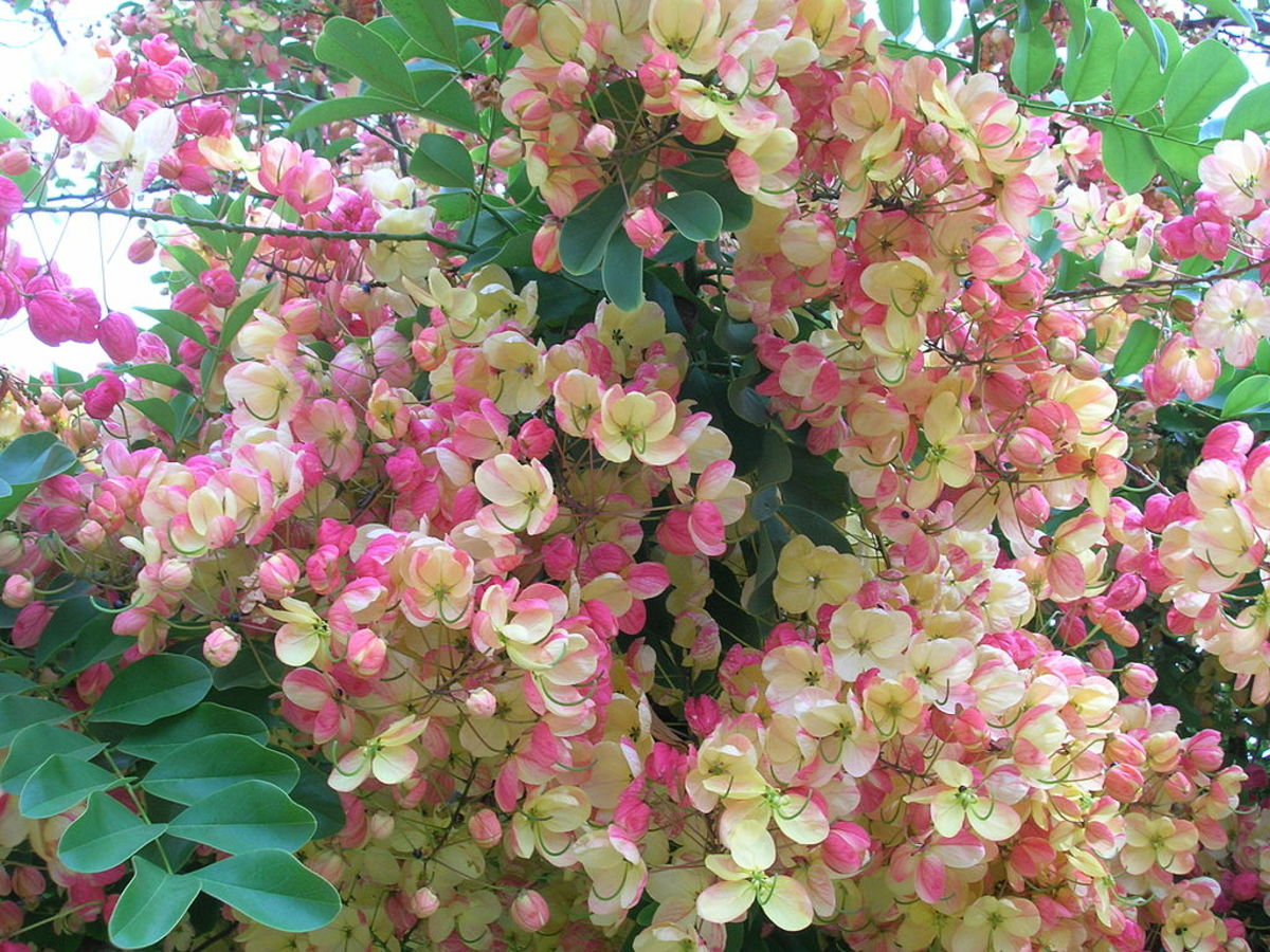 The flowers and leaves in a rainbow shower tree