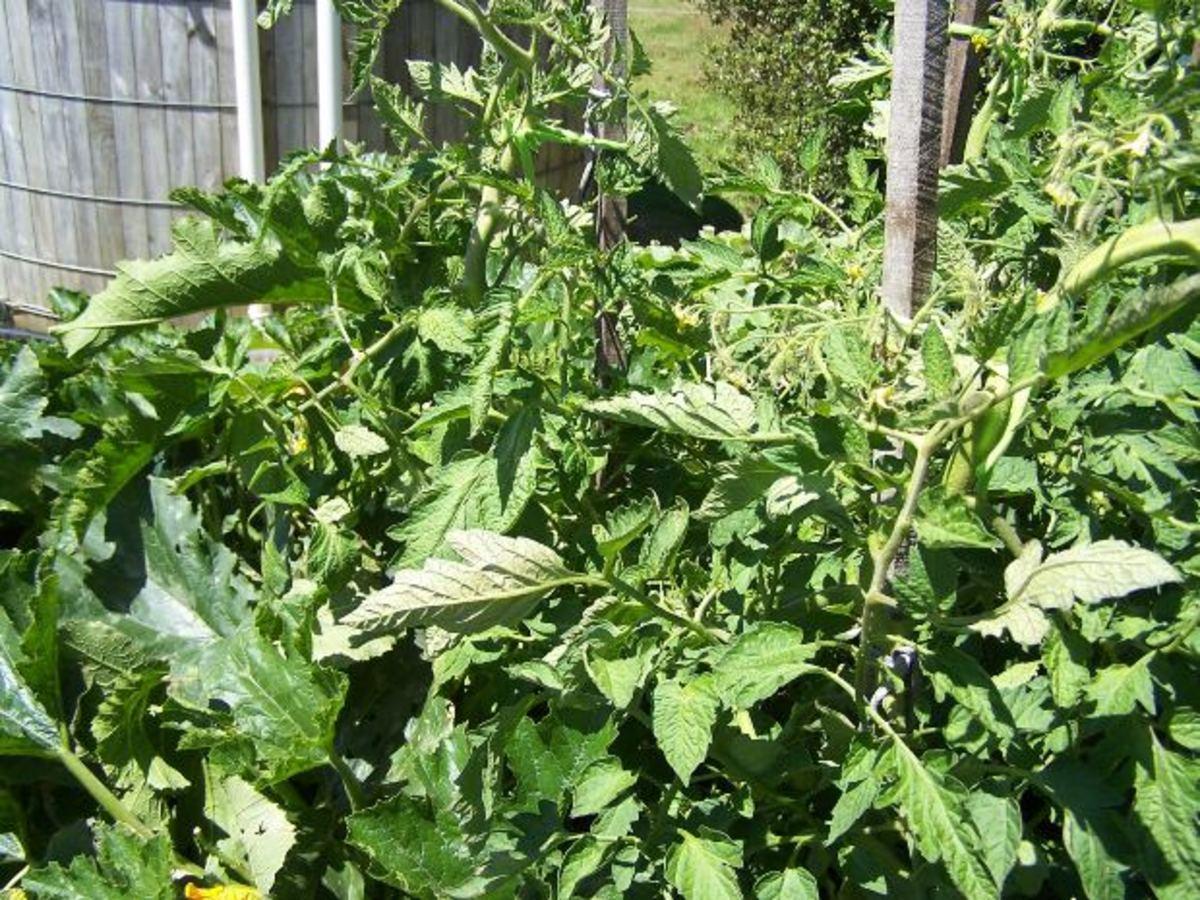 Lush tomato vines