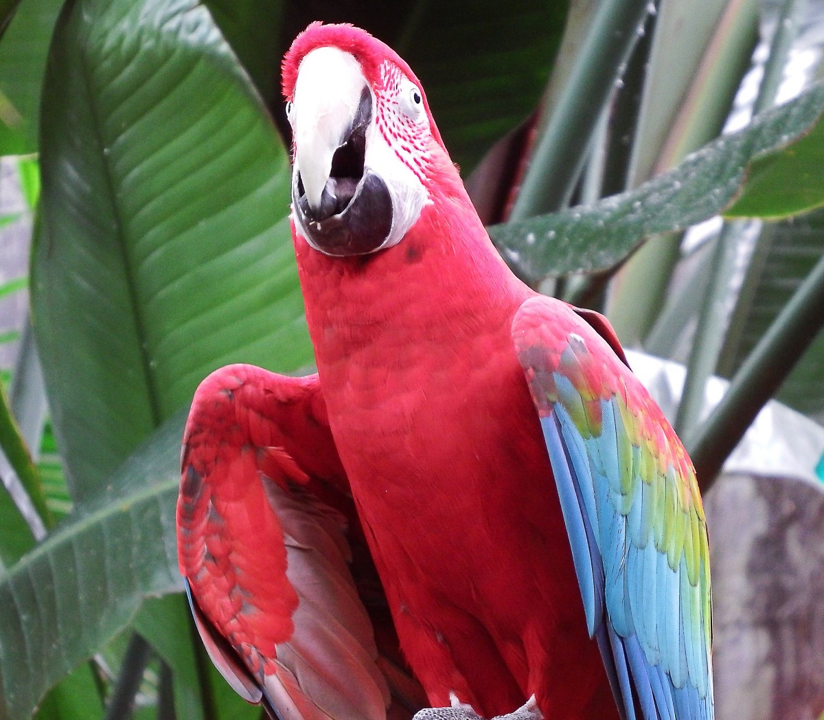 A green-winged or red-and-green macaw at the Bloedel Conservatory in Vancouver, British Columbia