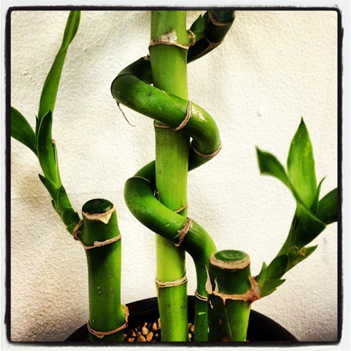 Care Growth And Meaning Of Lucky Bamboo Dengarden Home And Garden