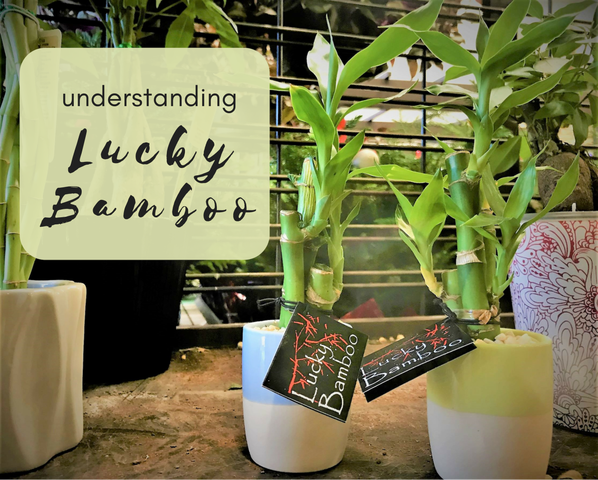 Growth And Meaning Of Lucky Bamboo