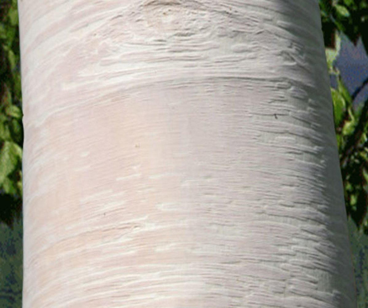 'Grayswood Hill' Erman's Birch