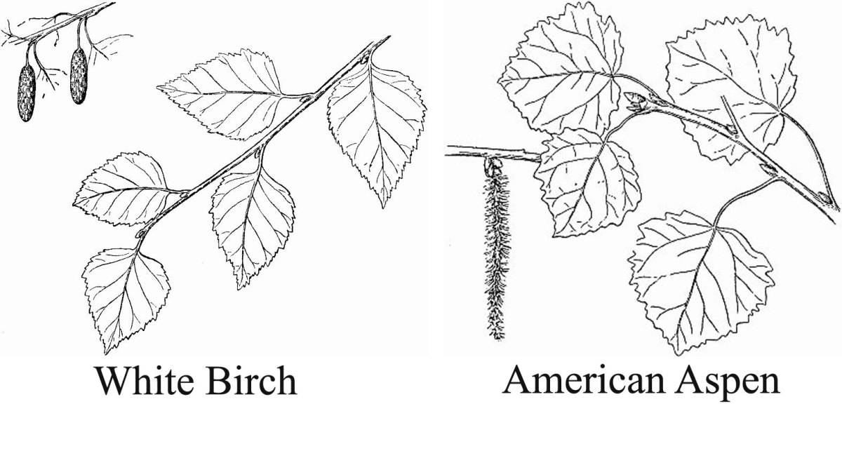 Difference between Birch and Aspen (leaf and catkin).