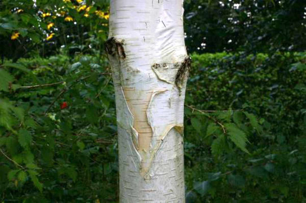 Peeling Bark of the Betula utilis var. jacquemontii