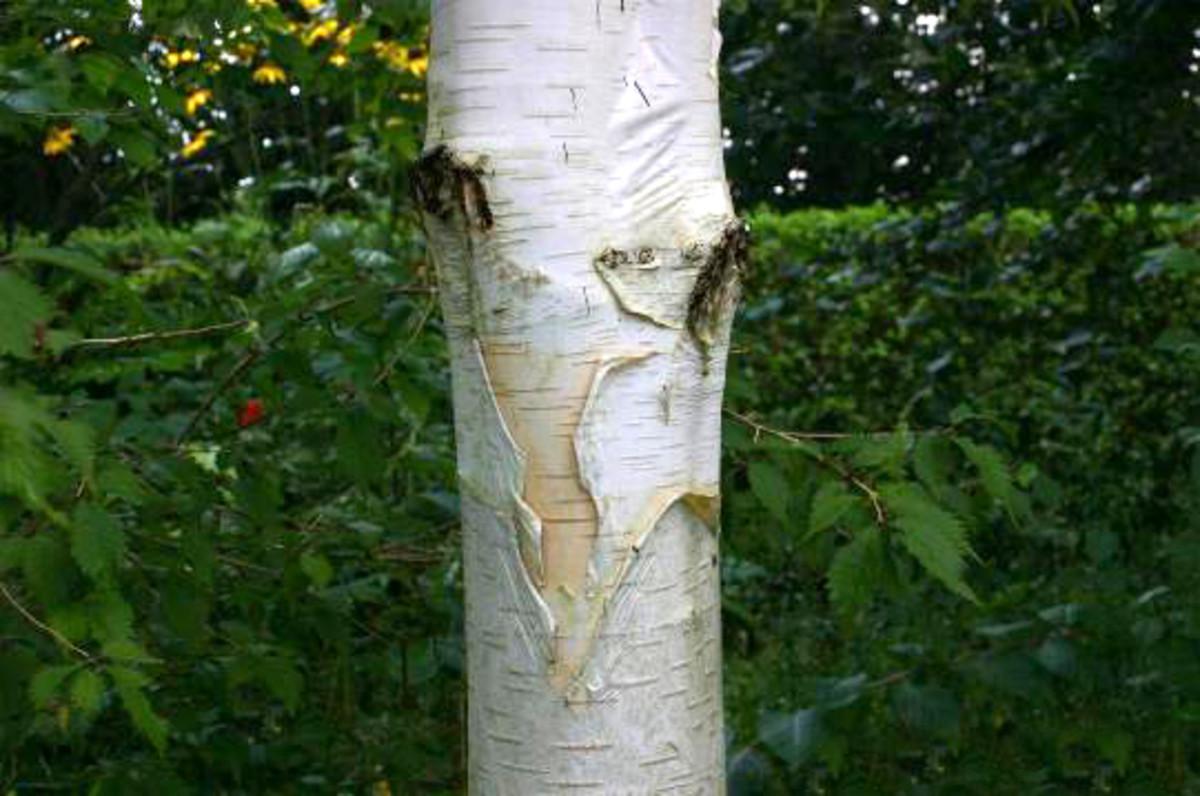 Peeling Bark of the Betula utilis var. jacquemontii