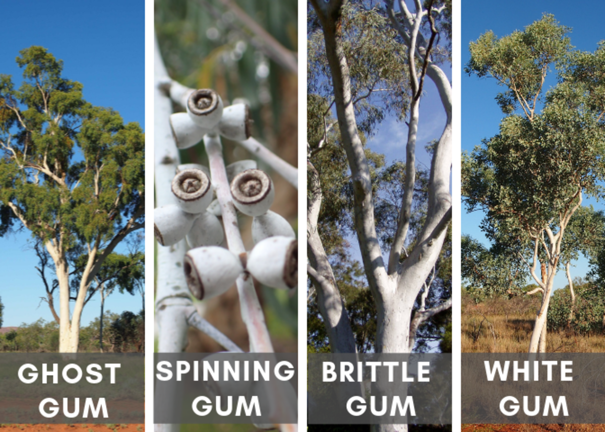 Various White Eucalyptus Trees (Source Links at Bottom of Article)