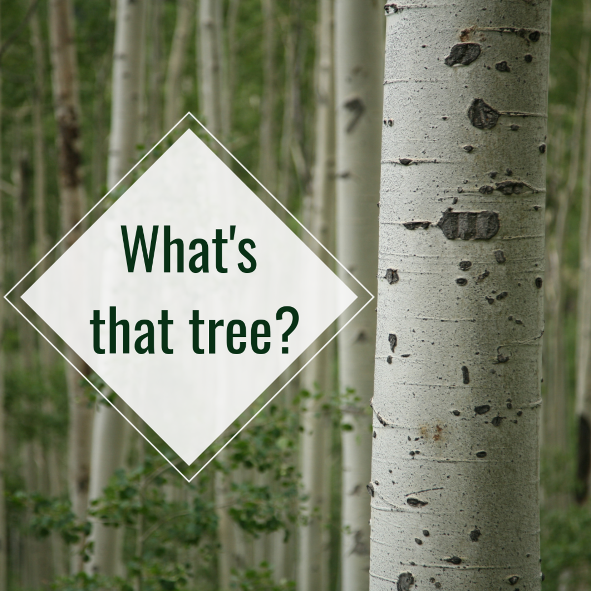 Dying to know what the striking white tree you just saw is? Look no further.