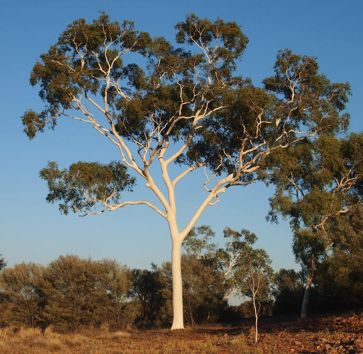 The Gorgeous Ghost Gum