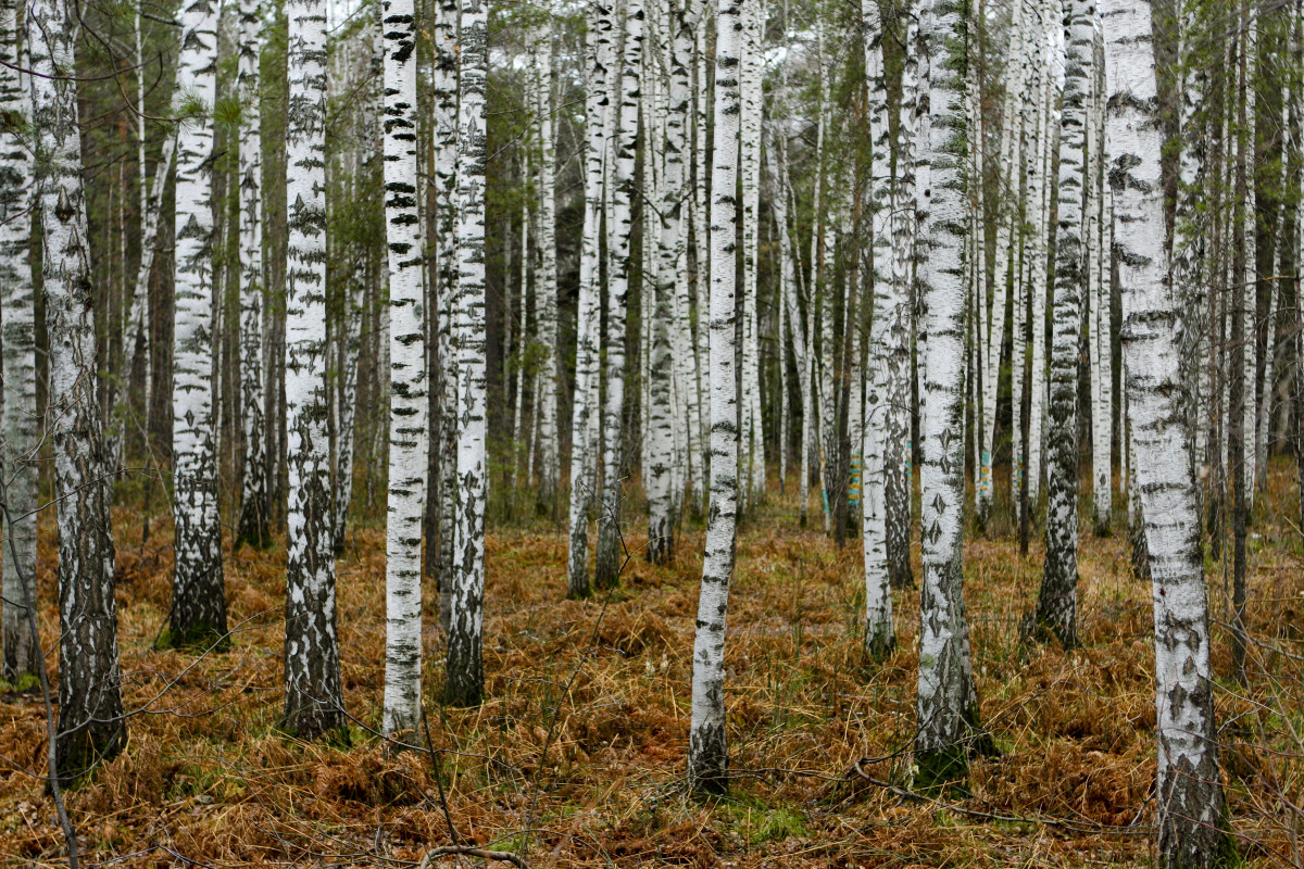 Silver Birches near Novosibirsk in Autumn
