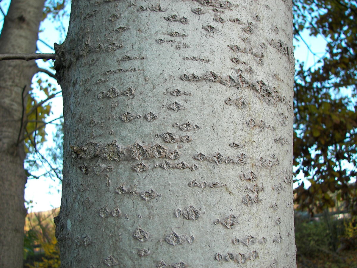 The Quaking Aspen's bark is quite unique.