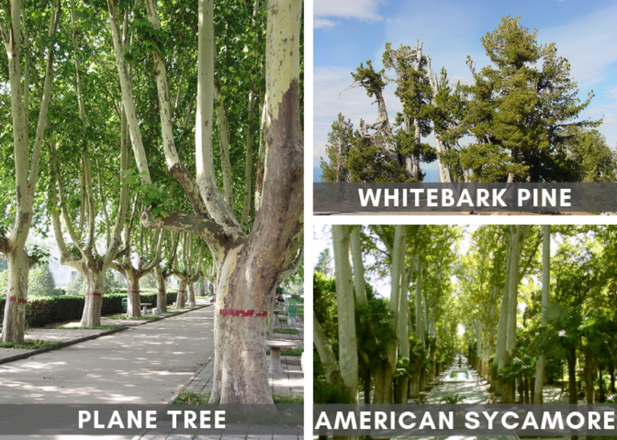 Various White Trees (Source Links at Bottom of Article)