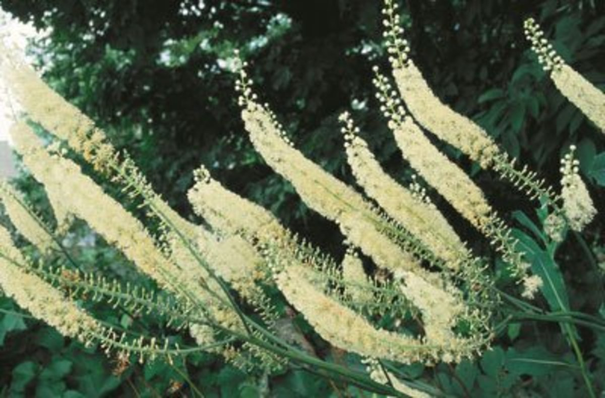 Black Cohosh—Benefits, Uses, and Side Effects
