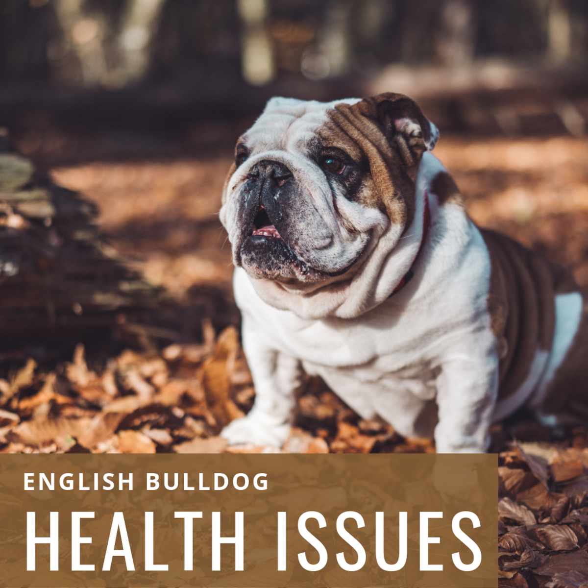 Sadly, the English Bulldog is prone to a vast array of health problems.