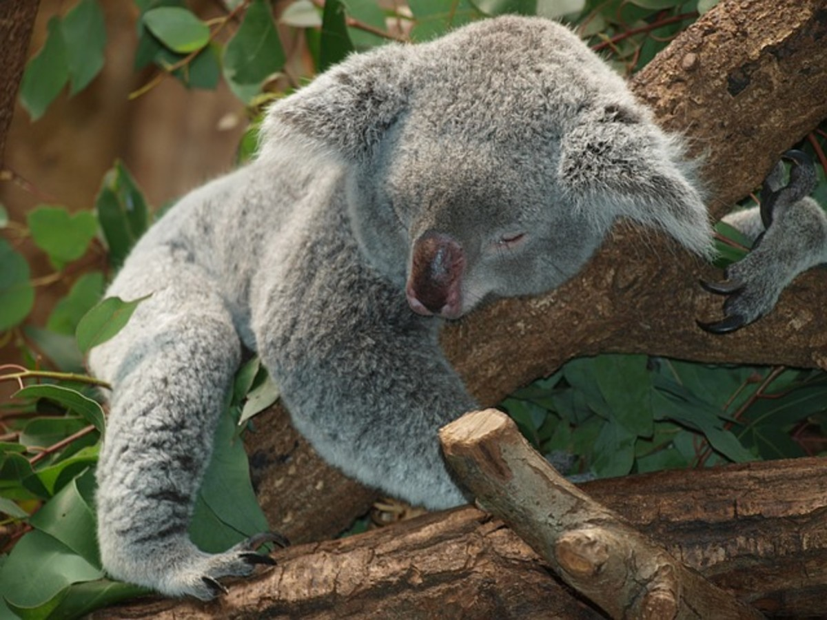 Preventing catathrenia can help you sleep well, like this peaceful koala.