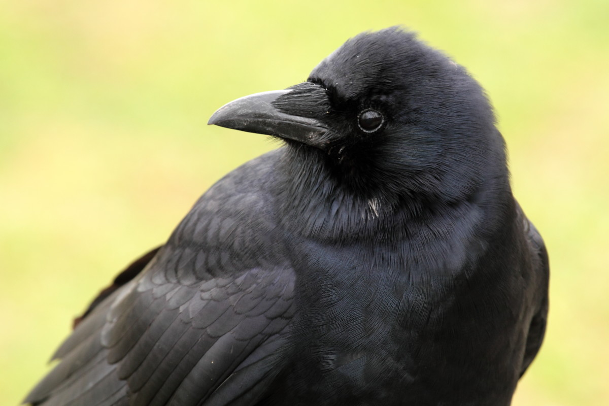 How to Make Friends With Crows | PetHelpful