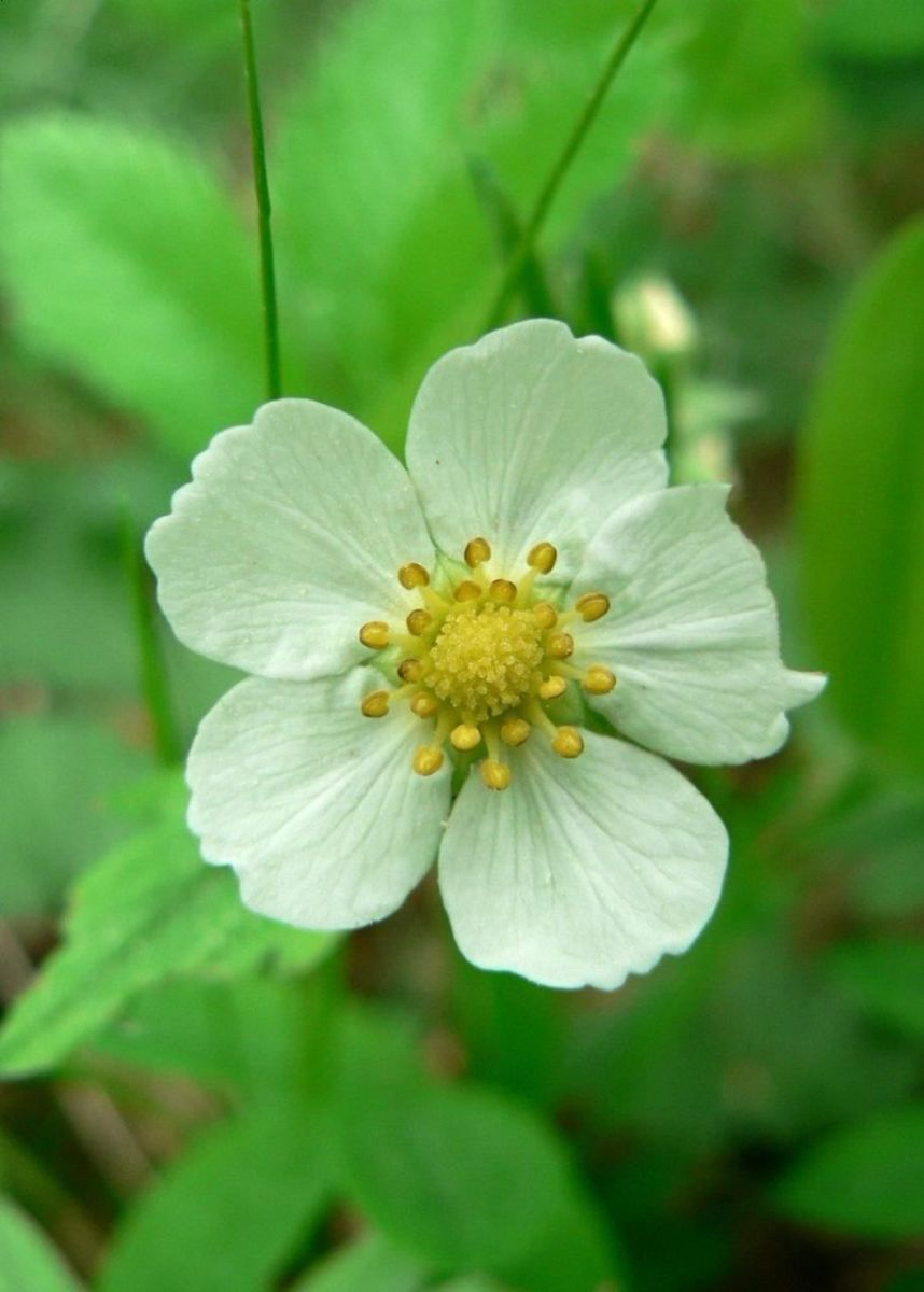 Flower of the wild strawberry plant.
