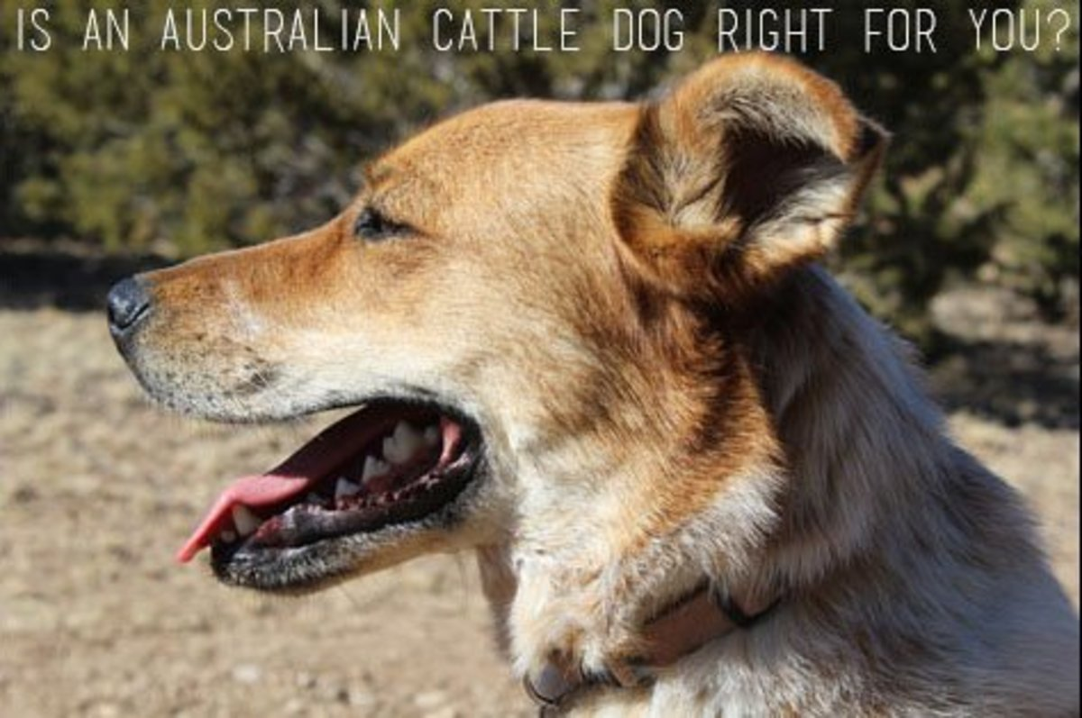 Is an Australian Cattle Dog Right for You?