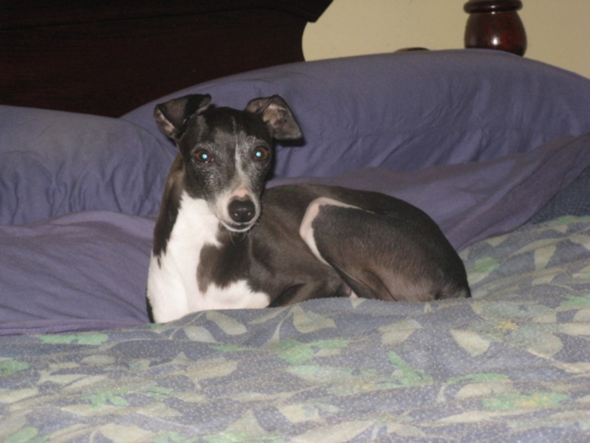 Sweet Sadie:  My Italian Greyhound Rescue Dog