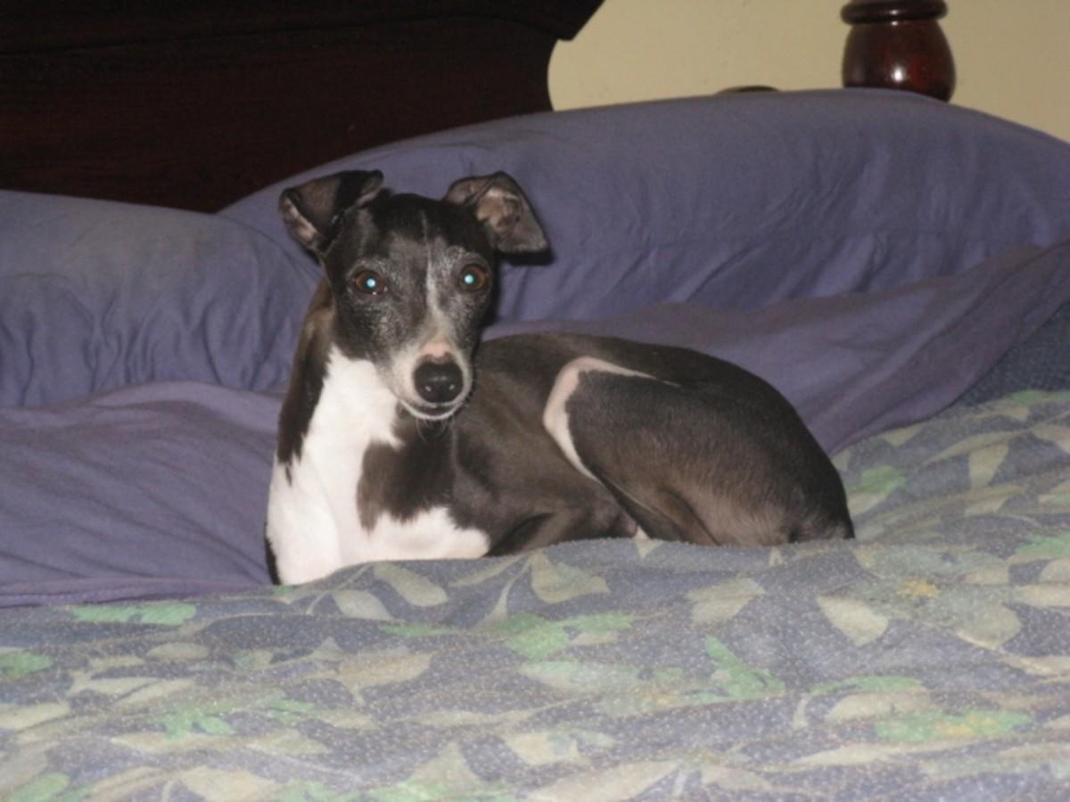Sweet Sadie: My Italian Greyhound Rescue Dog | LetterPile