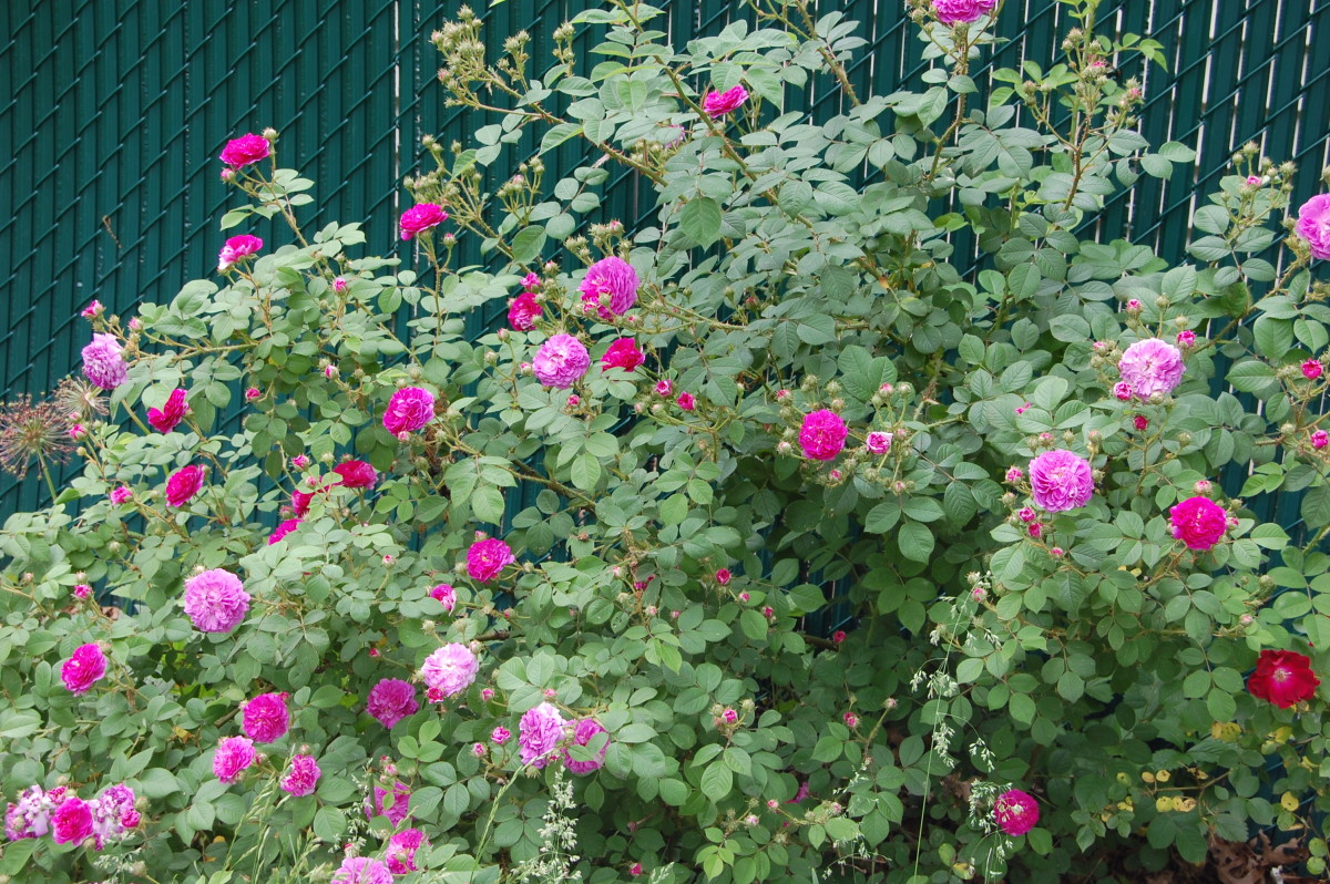 My Seven Sisters rosebush growing against a fence.