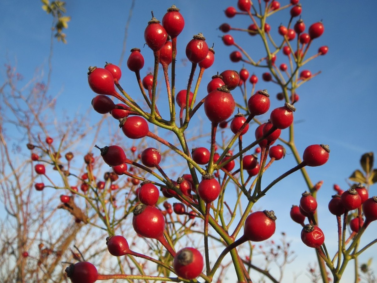 In the fall, the clusters of flowers are replaced by clusters of rosehips