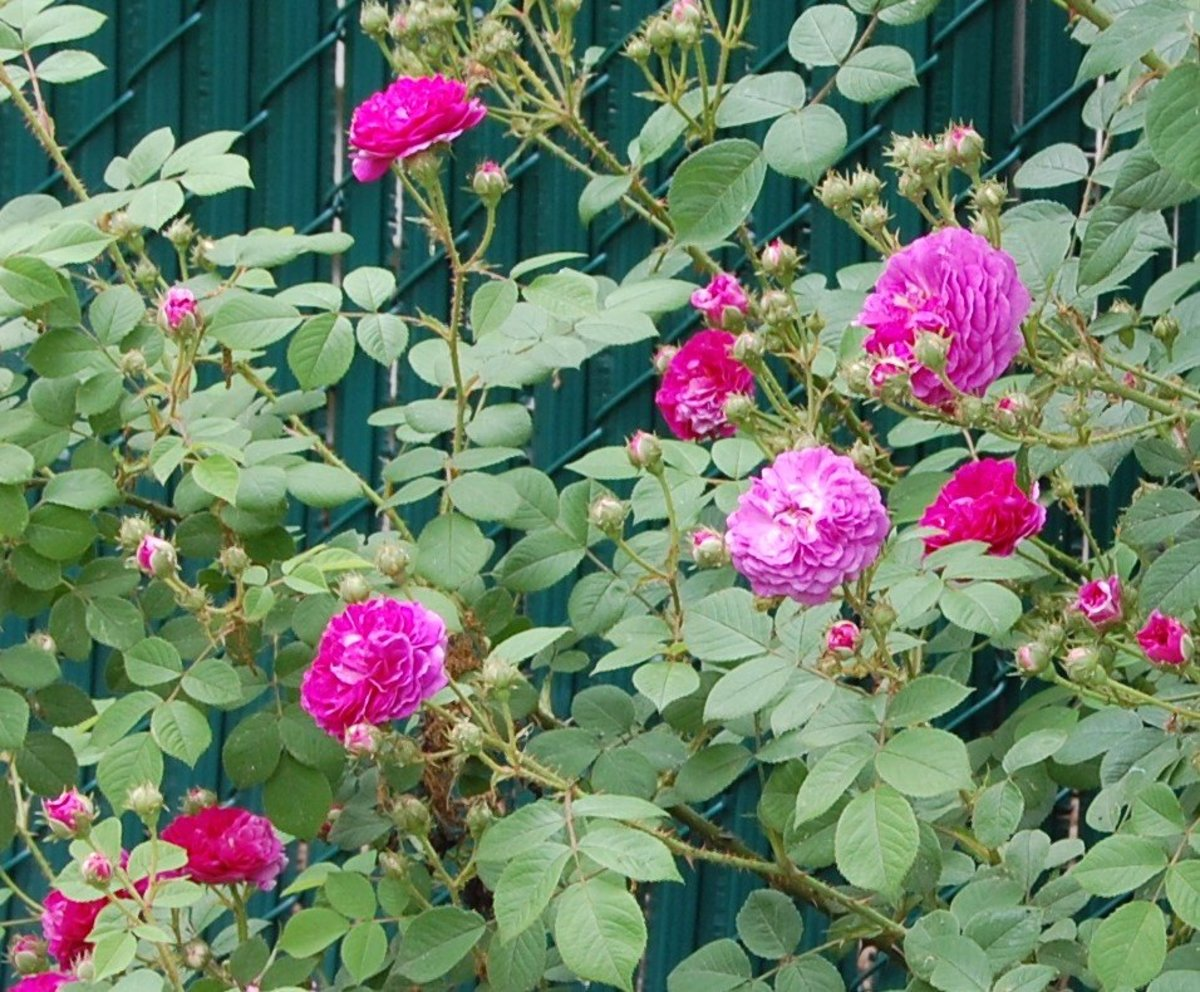 How to Grow a Seven Sisters Rose, an Heirloom Rosebush