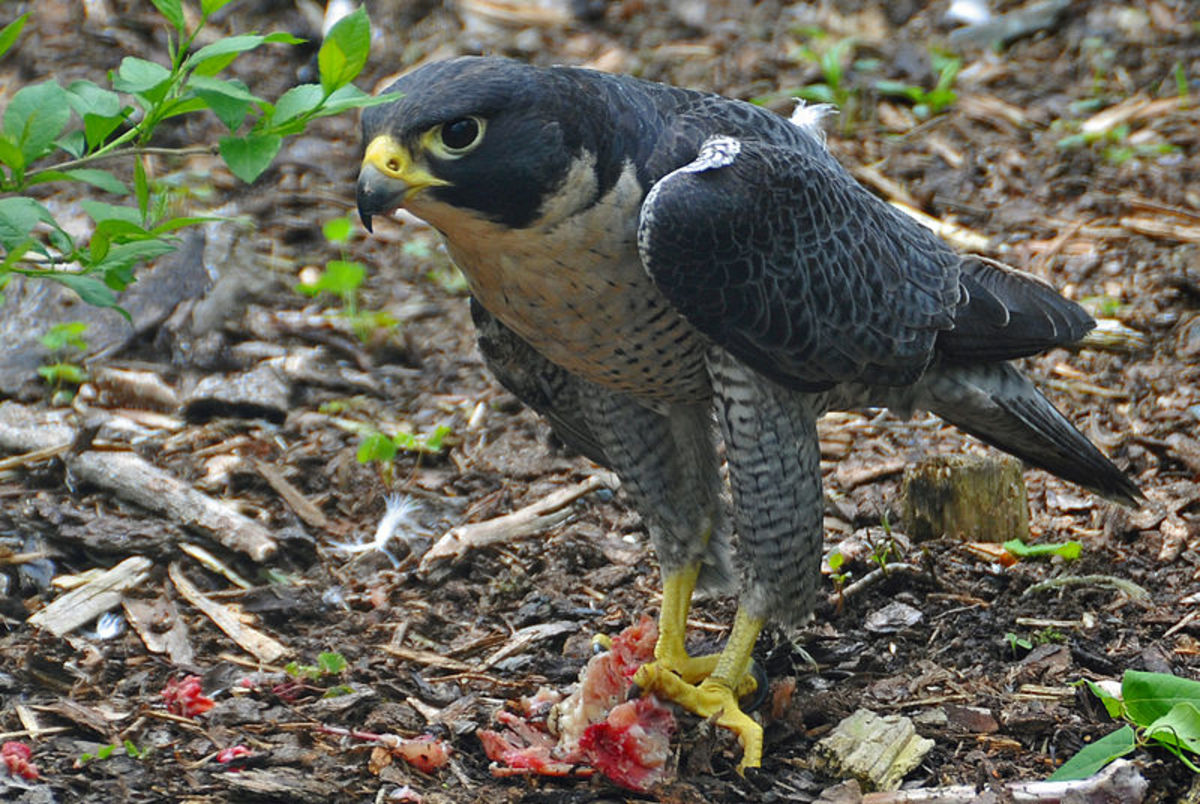 The Peregrine Falcon: The Fastest Animal in the World