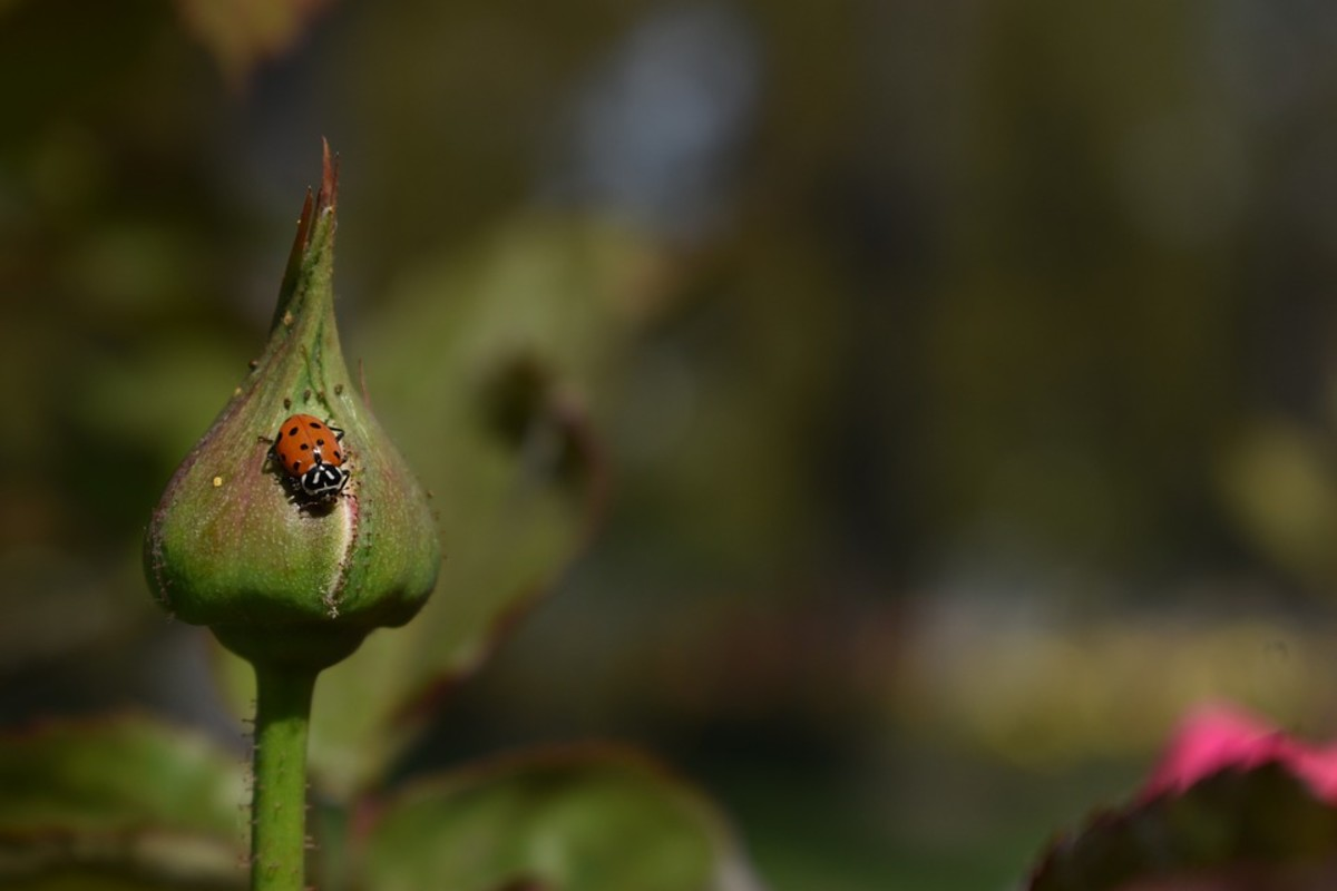 Lady bug hunting aphids on a rose bush