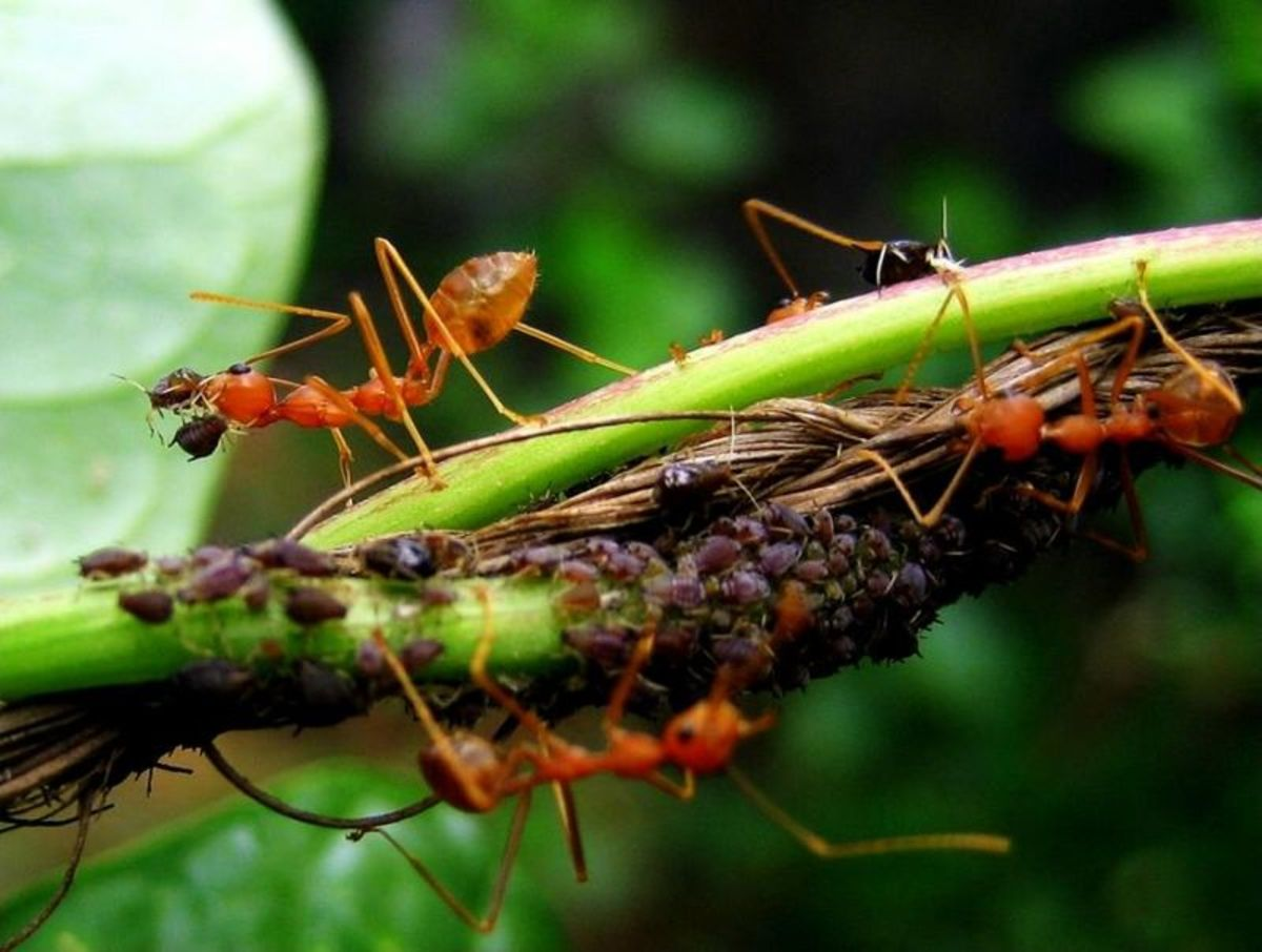 Ants farm aphids for their honeydew, a favorite food of ants.