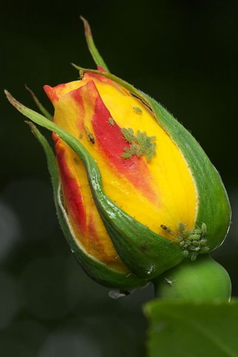 Aphids on a rosebud