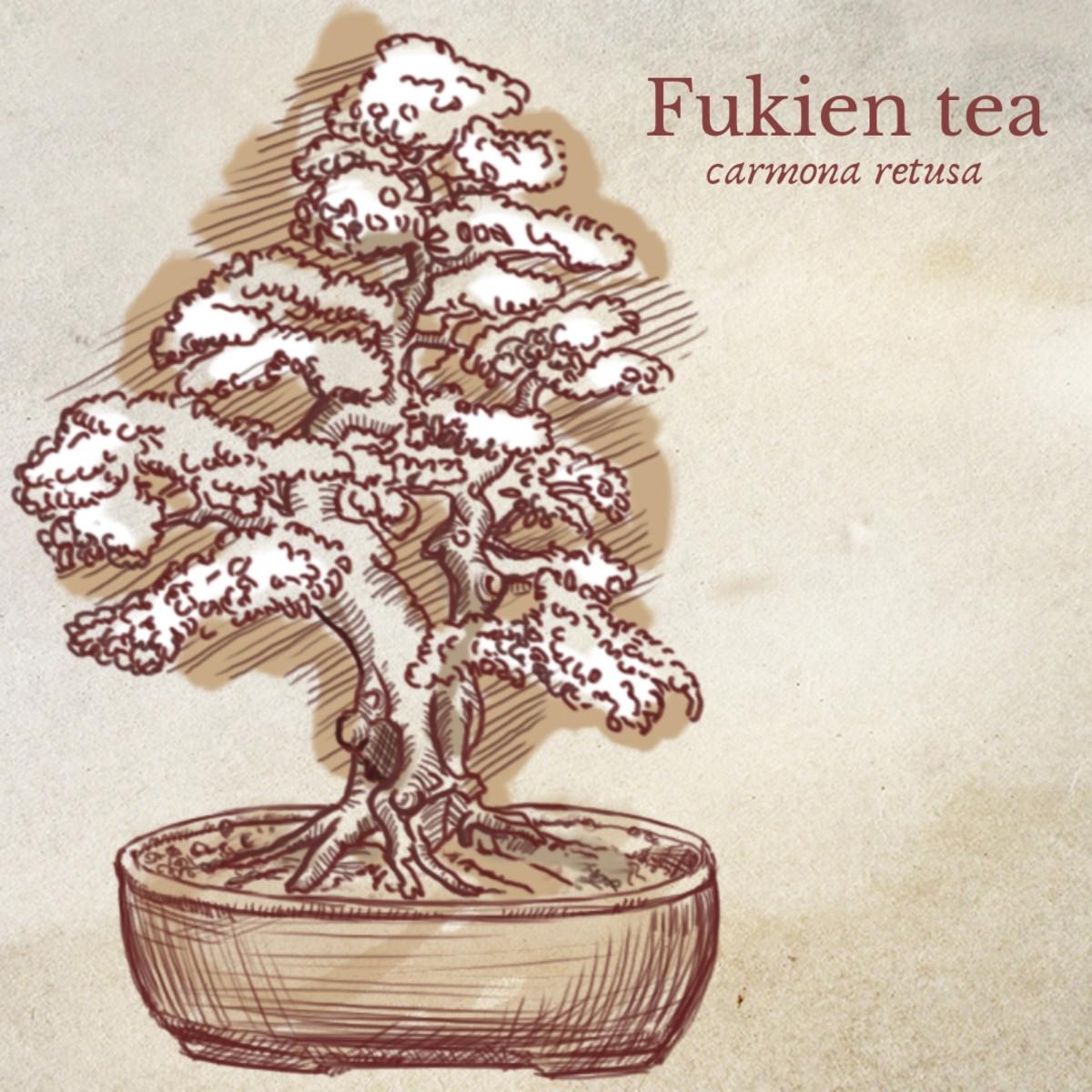 Illustration of Fukien Tea