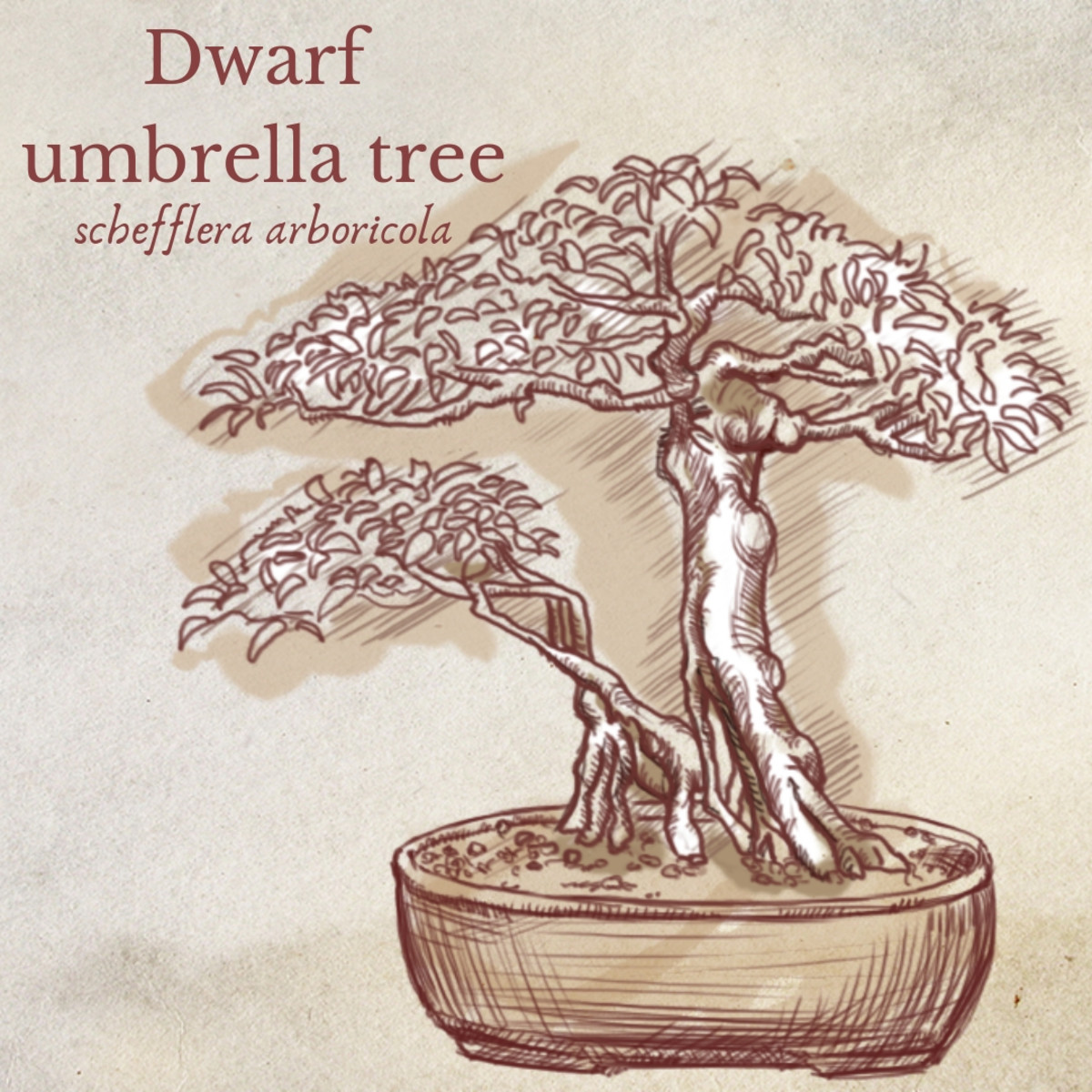 Illustration of Dwarf Umbrella Tree