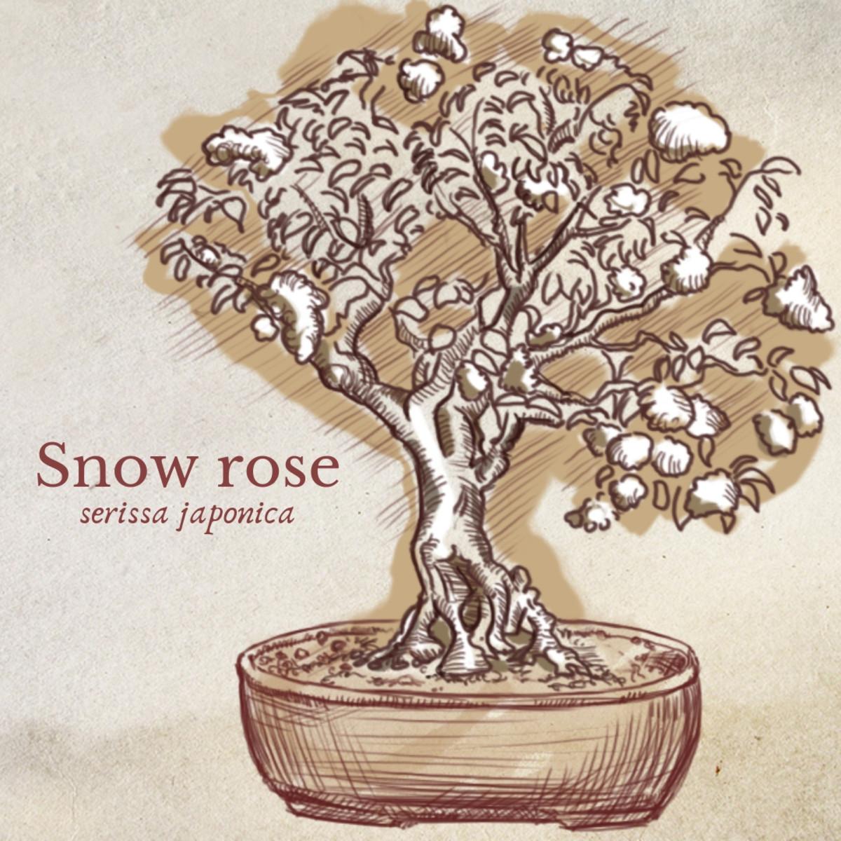 Illustration of Snow Rose