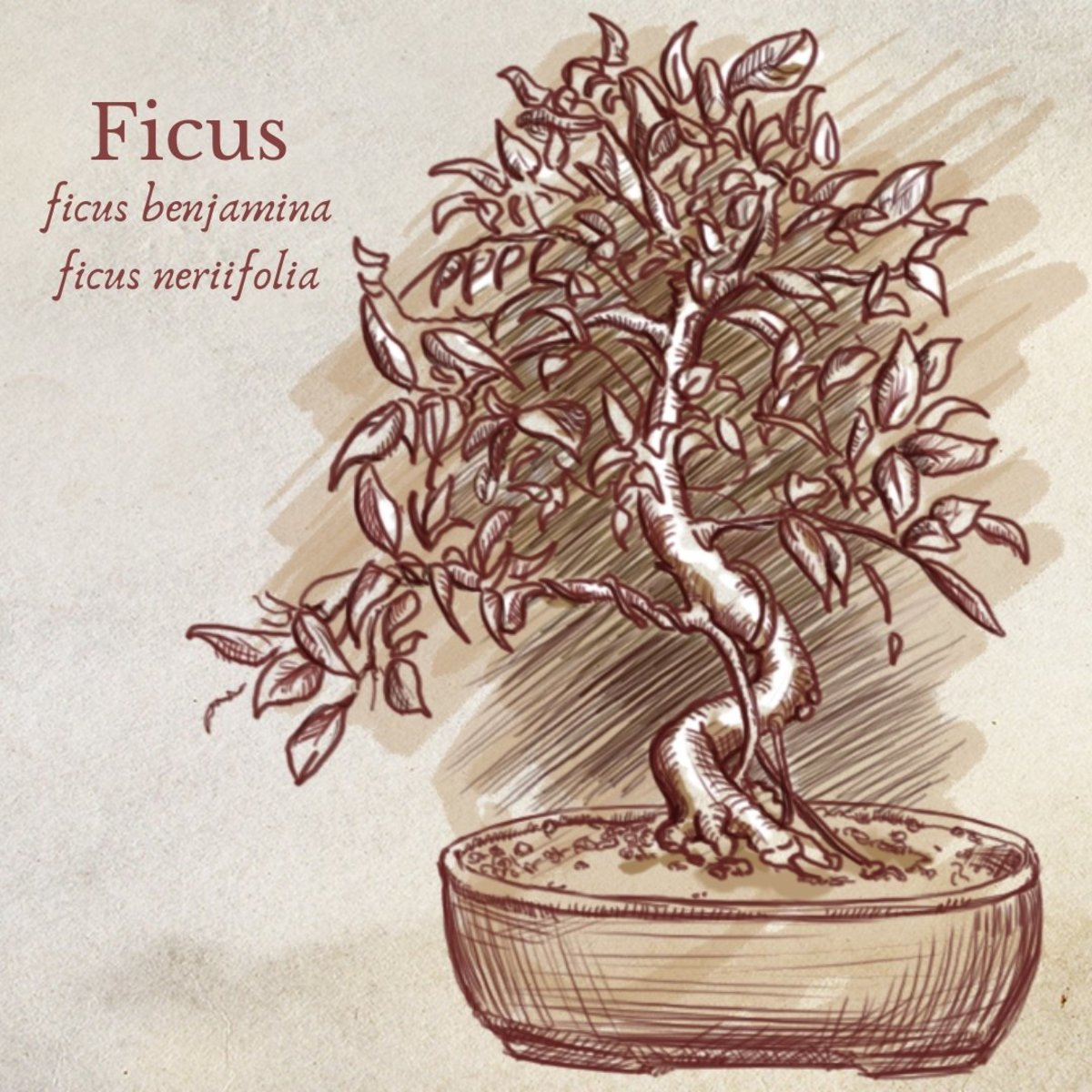 Illustration of Ficus Bonsai Tree