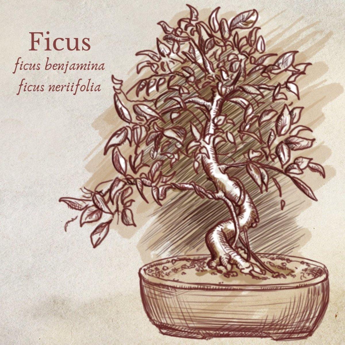 Illustration of Ficus Bonsai Tree