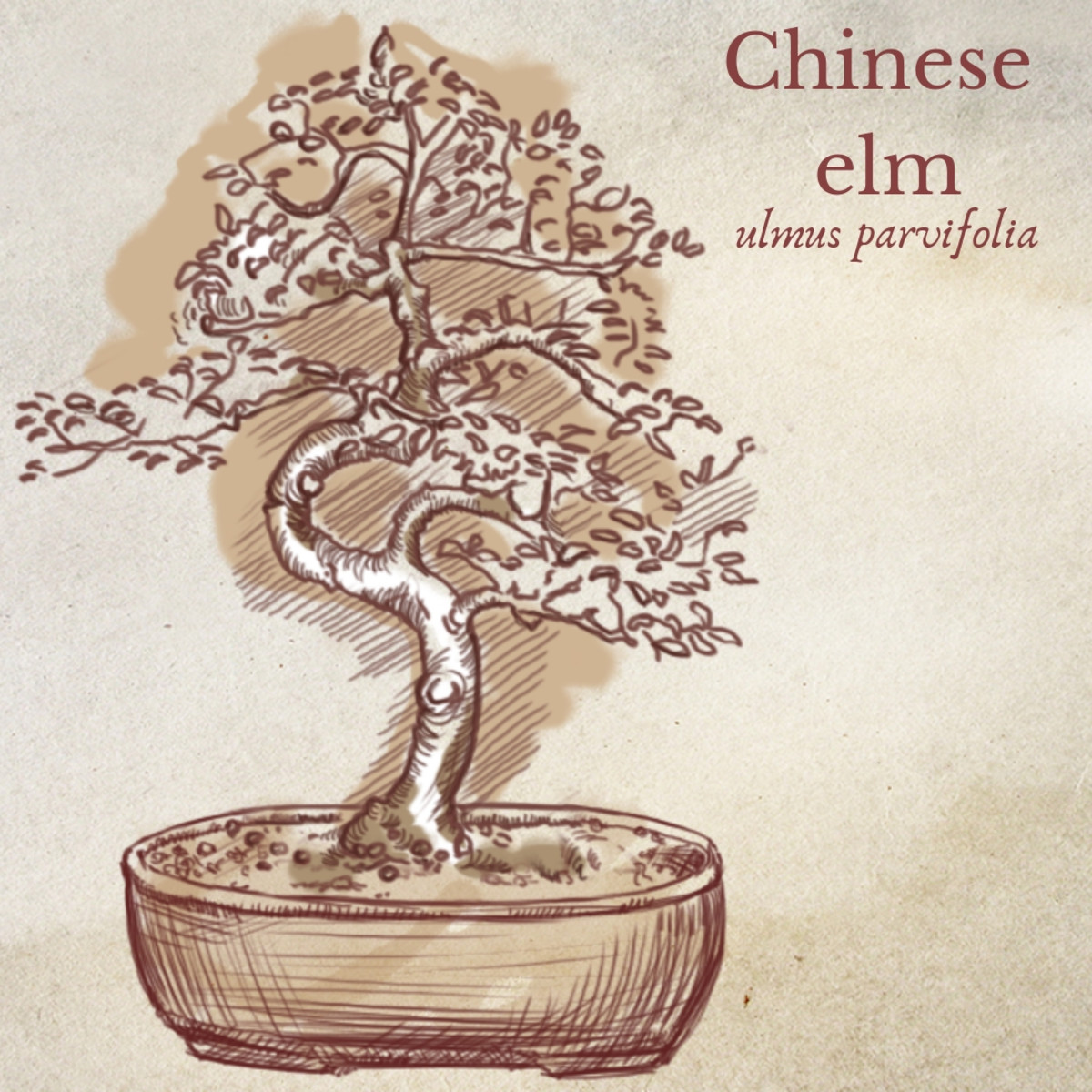 Illustration of Chinese Elm