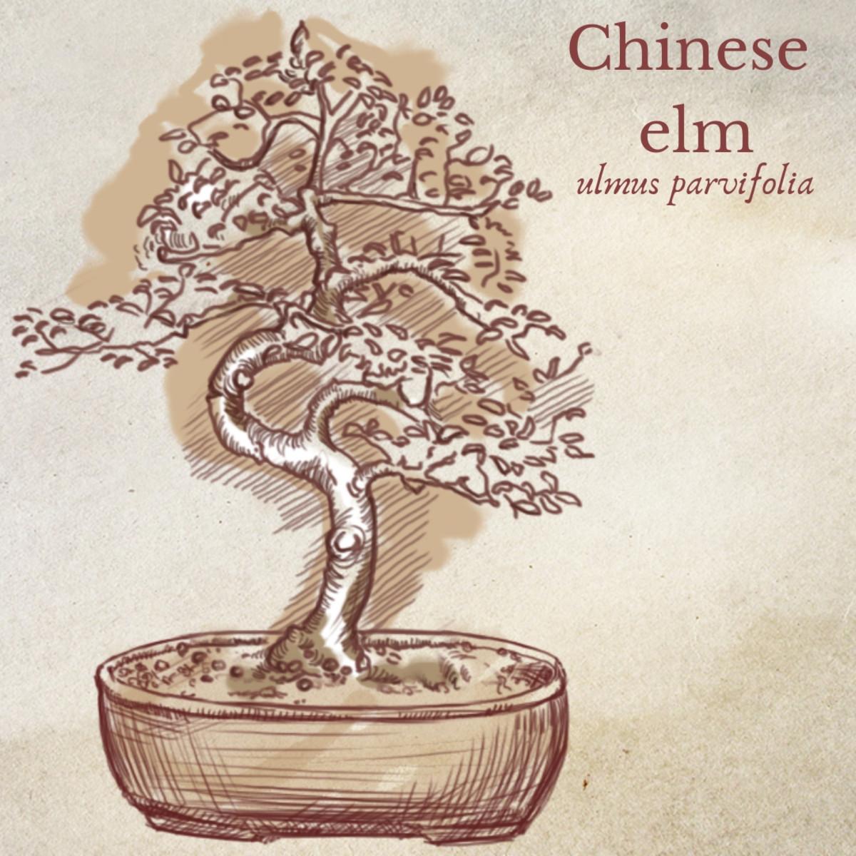 Illustration of Chinese Elm