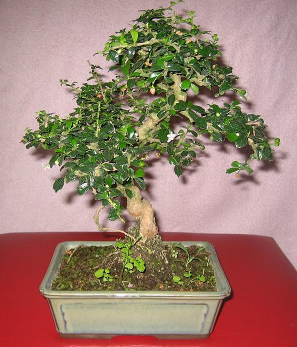 Five species that make great indoor bonsai for Different kinds of bonsai trees
