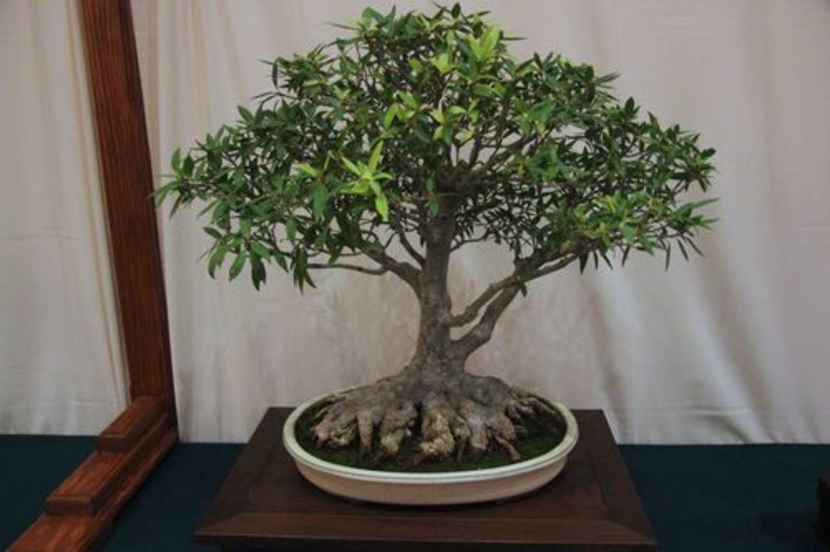 Ficus nerifolia.